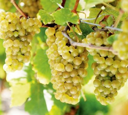 MONTECRISTO: Chardonnay