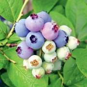 MONTECRISTO Magazine: Huckleberries