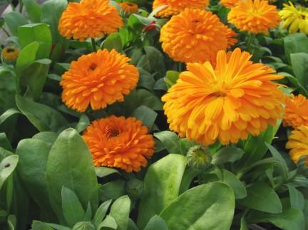 MONTECRISTO Blog: Edible Flowers