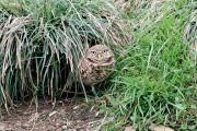 MONTECRISTO Magazine: Burrowing Owls