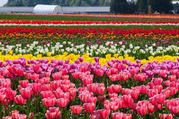 The Third-Generation Dutch-Canadian Farmer Who Launched Abbotsford's Tulip Festival