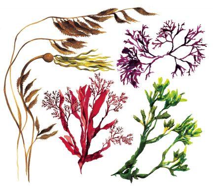 seaweed skin care