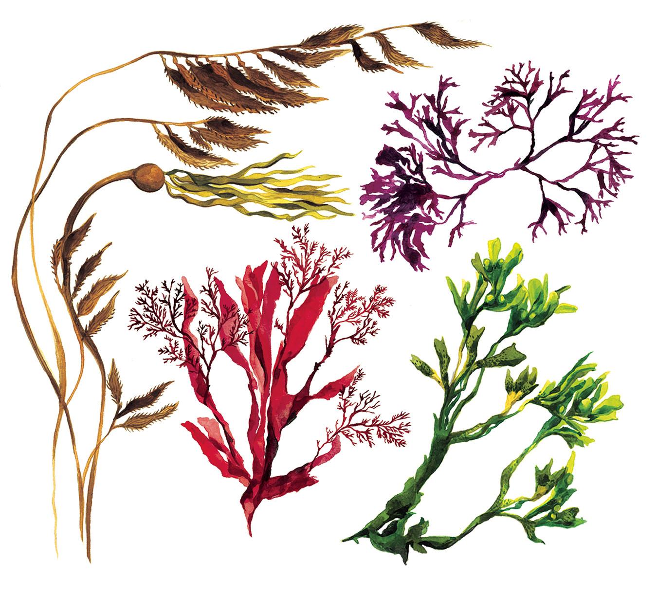 Seaweed Skin Care - MONTECRISTO