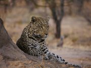 an-africat-leopard-poses-against-a-termite-mound