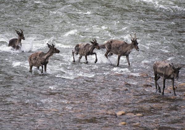 porcupine caribou matt jacques