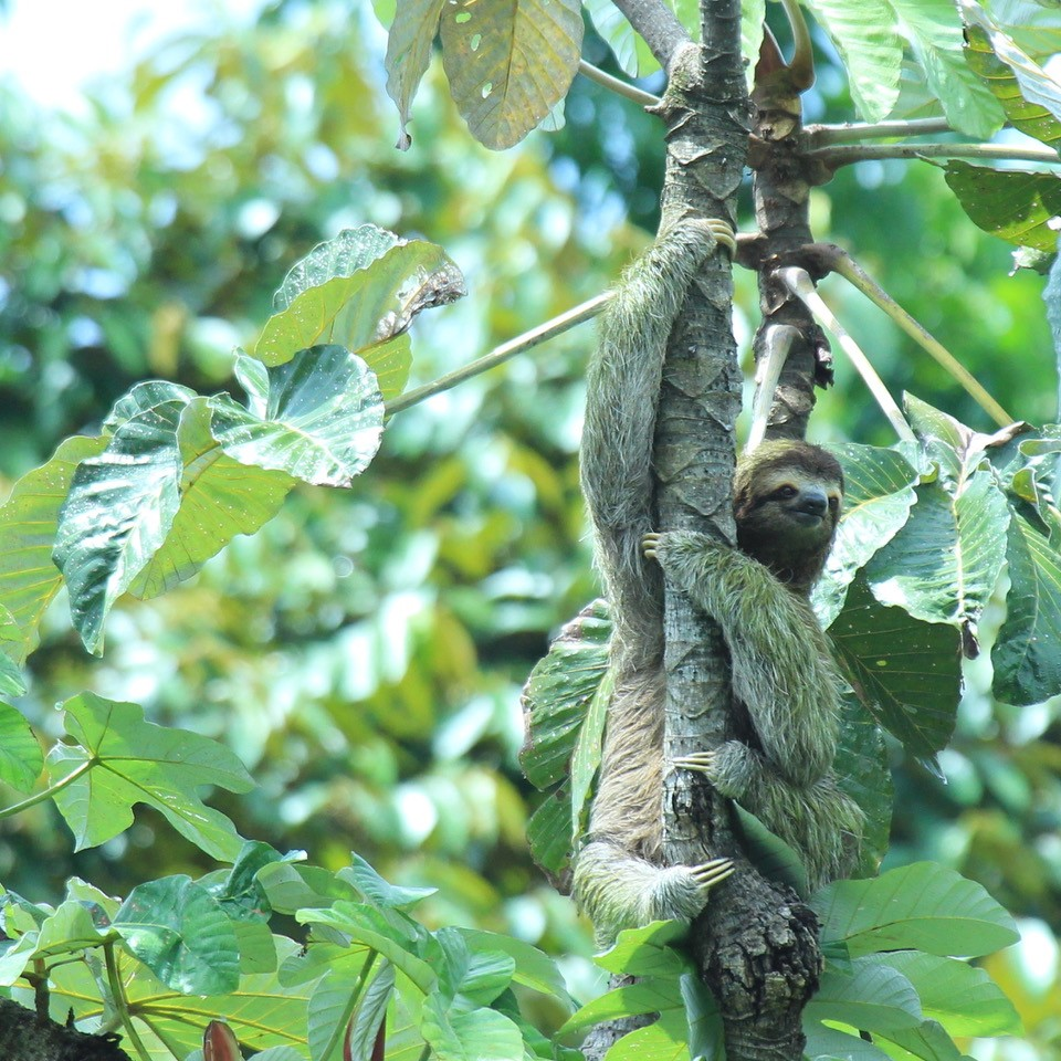 three toed sloth essay Two-toed sloths are slightly bigger and tend to spend more time hanging upside- down than their three-toed cousins, who will often sit upright in the fork of a tree.