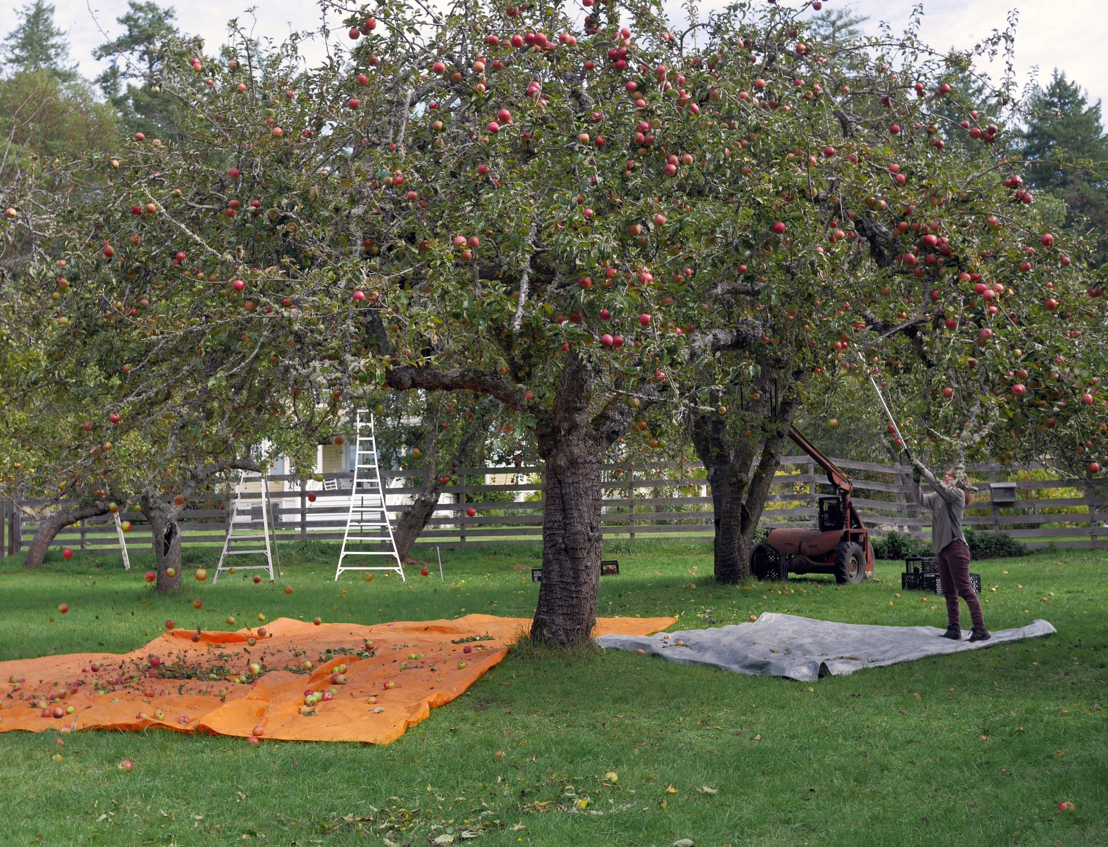Twin Island Cider's Carla Turner harvesting apples.