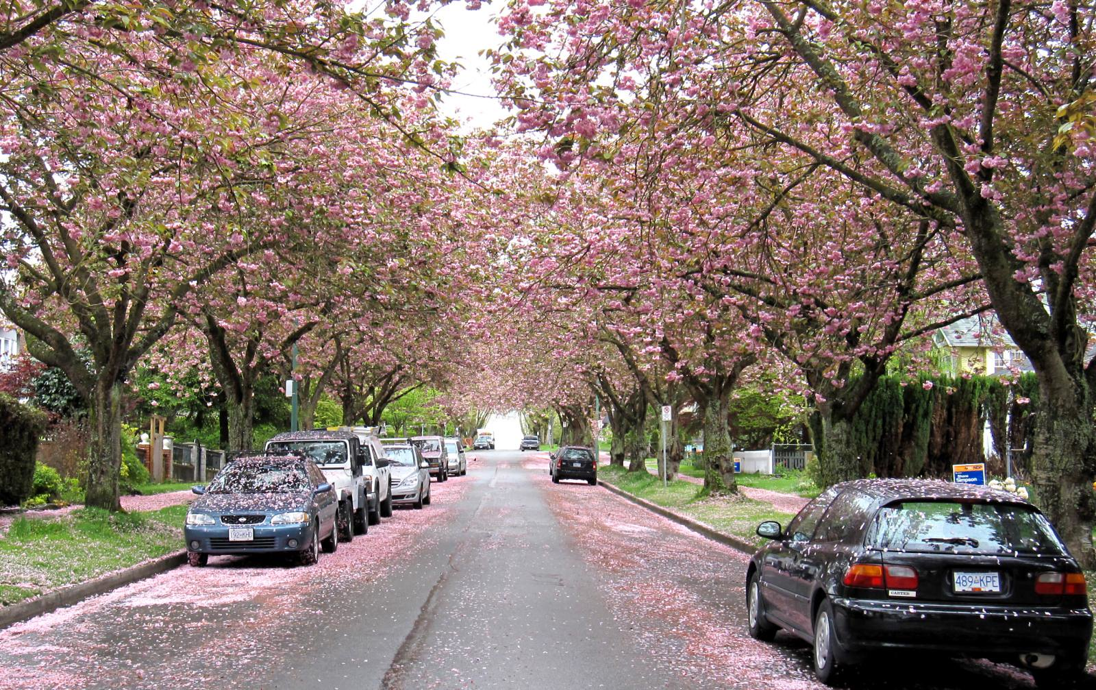Cherry tree blossoms in Vancouver.