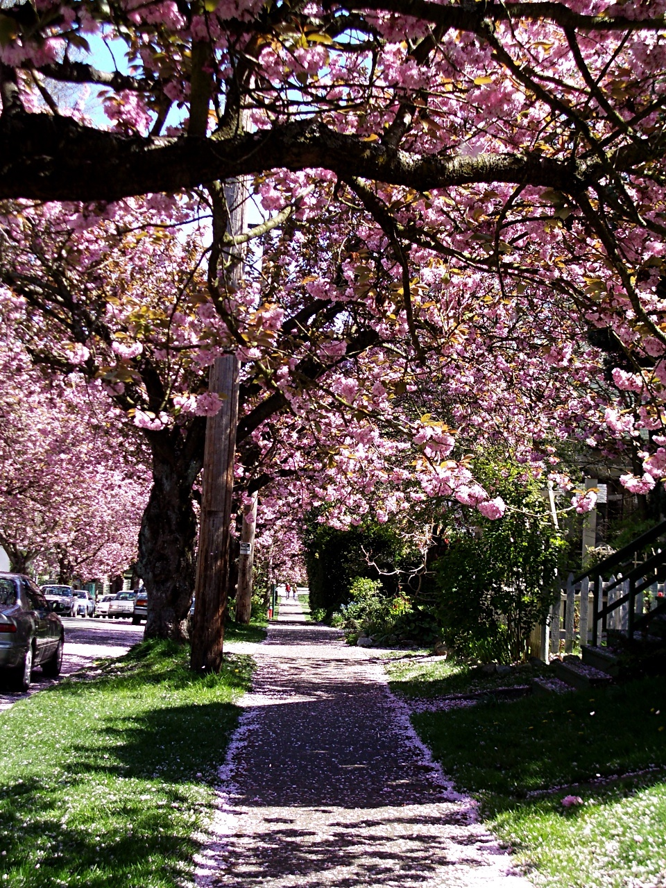 cherry tree blossoms Vancouver