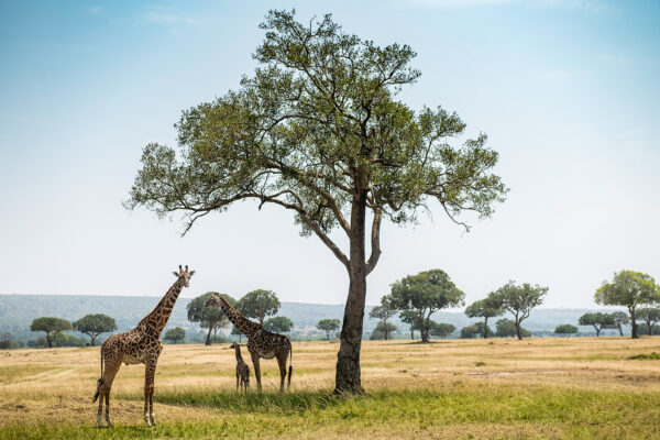 Kenya's Luxury Conservation Camp Where the Maasai Host and Giraffes Keep Watch