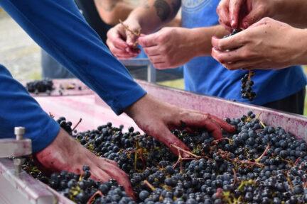 Hybrid Grapes